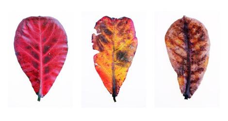 Leaf Comparison 01